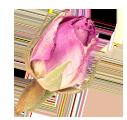 گل سرخ gol sorkh