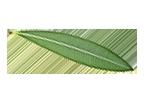 برگ زیتون | olive leaf